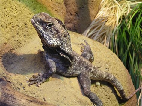 Free Lizard on rock Stock Photo - FreeImages