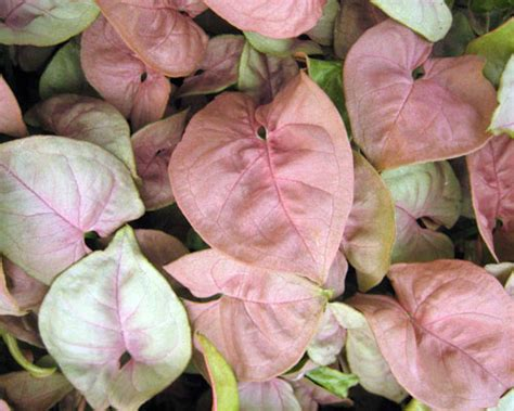 Syngonium 'Neon Robusta' from AgriStarts