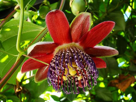 Free Passion fruit flower 2 Stock Photo - FreeImages