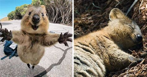 Taking Selfies With The Happy Quokka Has Been Banned In